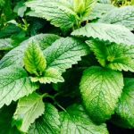 lemon balm nutrition advice from cliffs chiropractor southend